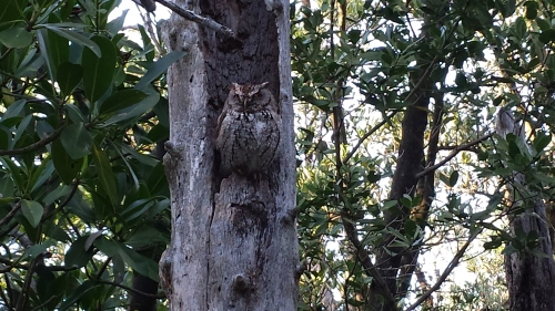 North Boardwalk's Screech Owl