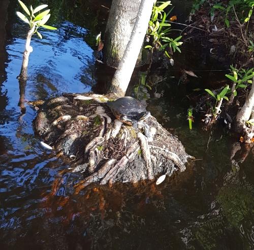 Turtle Sunning in Pelian Bay