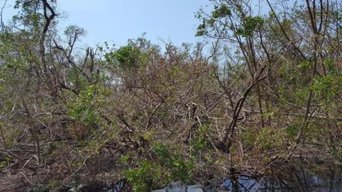 Mangrove Damage